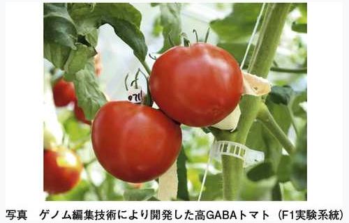 世界初のゲノム編集トマト